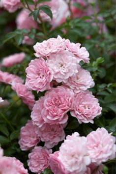 Rose 'The Fairy' • Rosa 'The Fairy' • Pflanzen & Blumen • 99Roots.com