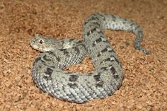 Namaqua Dwarf Adder - is found in southern Africa and is the smallest venomous snake in the world.
