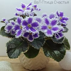 VaT-Ptitsa Schast'ia / ВаТ-Птица Счастья • T. Valkova • Standard • Semi-double white flowers, blue prints with touches of white fantasy. very neat even rosette of dark green leaves with bordering variegation. Russia  #VaTPtitsaSchastia #VatViolets #ValkovaViolets #UkrainianViolet #AVSA #AfricanViolet #IndoorPlant #Houseplant #saintpaulia #senpolia #AfricanVioletLovers #fialka #AfricanVioletSocietyOfAmerica Violets, African, Photo And Video, Photos, Instagram, Pictures, Pansies