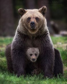 "Wildlife Planet (@wildlifeplanet) on Instagram: ""Grizzly Bear mother guarding her cub! Photo by @d.arkhipov #wildlifeplanet"""