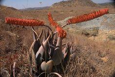 Aloe ortholopha in habitat. Native to Zimbabwe. Zimbabwe, Fungi, Cacti, Habitats, Succulents, Landscapes, Africa, Fantasy, Google Search
