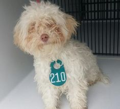 URGENT- Harris Cunty, TX- *PUPPY* This DOG - ID#A500354 I am a male, black and white Setter/retrieve. The shelter staff think I am about 6 weeks old. I have been at the shelter since Feb 14, 2018.