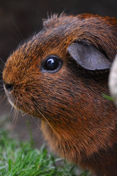 Brown and Black Guinea Pig                                                                                                                                                                                 More