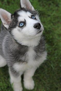 Siberian Husky siberian-husky