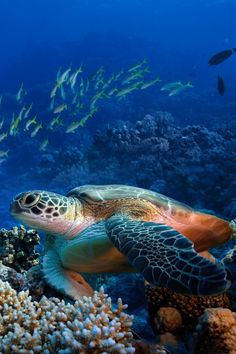 Beautiful colours of the incredible Sea Turtle as it grazes on the seabed, or effortlessly glides through the water!