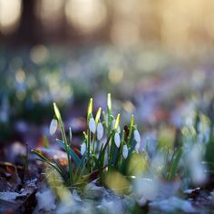 Waiting for the first signs of spring ~ snow drops Spring Snow, Spring Time, Spring Awakening, Winter Flowers, Deciduous Trees, Happy Spring, Natural Healing, The Great Outdoors, Mother Nature