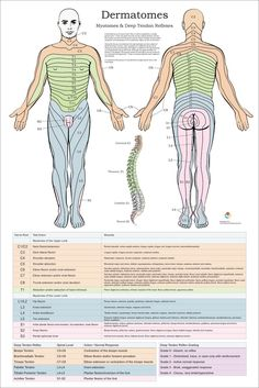 So you want to build big and powerful chest muscles? Huge big pectoral muscles (pecs) or chest muscles that command respect and adoration? Lump Behind Ear, Human Muscle Anatomy, Swollen Lymph Nodes, Spinal Nerve, Skin Bumps, Under My Skin, Nursing Notes, Anatomy And Physiology, Massage Therapy