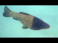 Fish Tench (Tinca tinca) reproduction Lutry/ Accouplements de tanches by...
