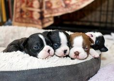 Cute Overload of Boston Terrier Puppies in their Bed - http://www.bterrier.com/cute-overload-of-boston-terrier-puppies-in-their-bed/ https://www.facebook.com/bterrierdogs