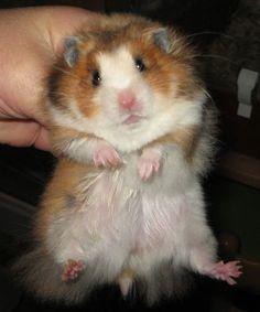 Golden White Bellied Satin lh hamster (llSasaWhwh)