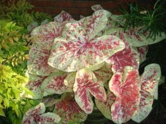 Caladium Moonlight Perfect For The White Garden Though Not As Tall I D Like They Are Very Inexpensive 5 9 40 Or 1 Gardenin