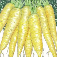 Carrot : Solar Yellow - These carrots get their color from xanthophyll, which supports eye health