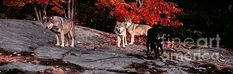 Timber wolves under a red maple tree - panorama