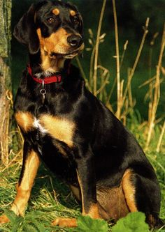 Transylvanian Hound / Erdélyi Kopó #Dogs #Puppy