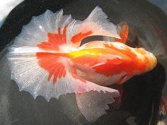 土佐金 - Google Search This is a gold fish. The name is Tosakin.