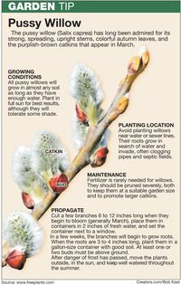 Tips for Growing More Pussy Willow Branches by Jeff Rugg on Creators.com - A Syndicate Of Talent