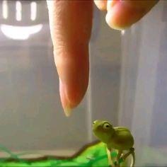 Cute Little Animals, Cute Funny Animals, Funny Cute, Funny Pics, Cute Reptiles, Reptiles And Amphibians, Chameleon Pet, Cute Lizard, Cute Frogs