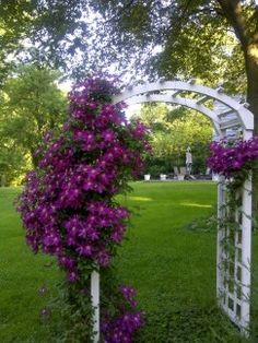 Since Clematis is a perennial and may live for 50 years or more, giving it a good start in an appropriate place in the garden is the most important factor in whether it succeeds or fails. These plants like cool feet, but lots of sun at the top, so heavy mulch, replaced every year is advisable.