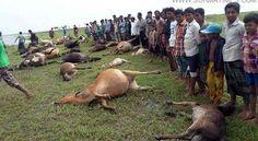 সুনামগঞ্জে বজ্রপাতে নিহত ৪ : মারা গেছে ২২০টি গরু | Sylhet News | সুরমা টাইমস