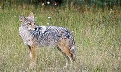 California coyote, have been attacking children as of lately. California California there put on warning