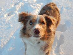 Dog, Puppy Love, Australian Shepard