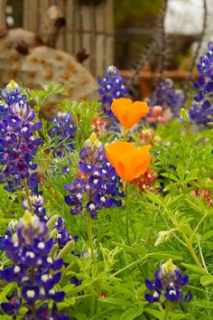 Springtime in Texas at Wildseed Farm in Fredericksburg, Texas