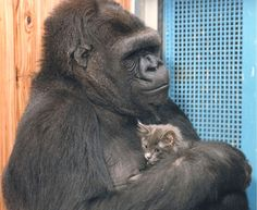 Koko the Gorilla Celebrates 44th Birthday with Kittens. Humans Migrated to China Before Arriving in Europe. Bees Love Caffeine, too.