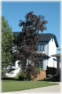 Royal Frost Birch~This birch has the best from both its parents. From Whitespire it inherited beautiful white bark and burgundy-red foliage. The combination of two colors makes this an outstanding specimen tree. Garden On A Hill, Garden Villa, Inver Grove Heights, Picture Tree, Specimen Trees, Deciduous Trees, Landscape Plans, Types Of Soil, Landscaping Plants