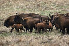 Bisons in Bieszczady Mountains, Poland