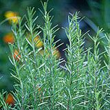 Rosemary - You Can Grow the Herb Rosemary