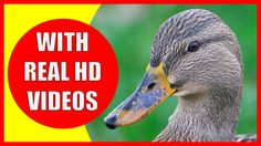 I make educational videos for my 2-year-old daughter. My last video is about duck facts. I wanted to share with you as well. I hope your kids enjoy it!
