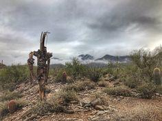 Pretty beat up Saguaro cactus