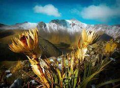 Rosa de la Montaña, Nevado de Toluca.