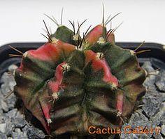 gymnocalycium mihanovichi1 cvFrancy Cactus Gallery