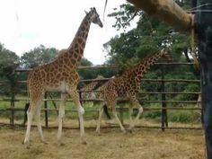 Giraffe Center in Nairobi, Kenya. Entrance fee $12, pet and feed giraffes rehabilitating from injury/sickness at this refuge