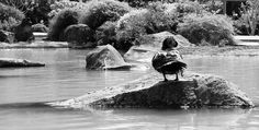 Duck on the rock...