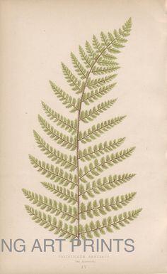 Antique Fern Print, Vintage Fern Print, Lowe Native Ferns Antique Print, British Ferns, Color Plate, Bookplate 15