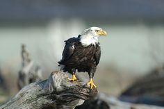 Bald Eagle in Port Burwell Provincial Park, Ontario. Bald eagles can be seen any time during the fall migration period from August to December. North American Beaver, Ontario Parks, National Animal, Bird Pictures, Birds Of Prey, Bird Feathers, Conservation, Mammals, Habitats