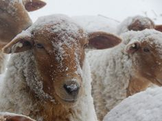 Raising Sheep Tunis Sheep Winter Mitten State Sheep and Wool: Pasture Happenings-The New Year Sheep Farm, Sheep And Lamb, Farm Layout, Baa Baa Black Sheep, Farm Fun, Farm Yard, Livestock, Cattle, Farm Animals