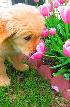 Puppy sniffin' around the tulips...too cute.