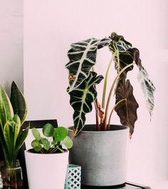 Monstera Deliciosa, Planta Alocasia, Architectural Plants, Nature Decor, Flowers Nature, Outdoor Plants, Planter Pots, Interior Design, Garden