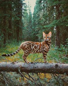 Bengal Cat #SavannahCat