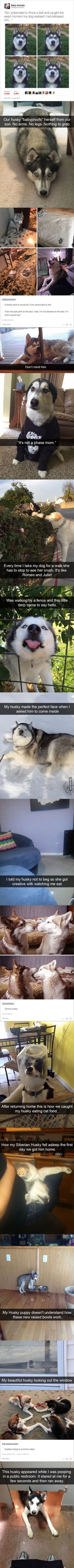 This is why I love my Husky <<< im so jealous ; I dont have a husky. I dont have a dog at all, my parents liked cats. Cute Funny Animals, Funny Animal Pictures, Funny Cute, Funny Dogs, Funny Husky, Husky Meme, Husky Quotes, Dog Quotes, Pretty Animals