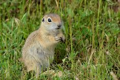 Spermophilus xanthoprymnus by oz