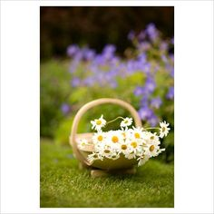trug with fresh cut daisies