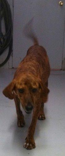 Black Amp Tan Coonhound Plott Hound Mix M Named Colton In Harrisonburg Va Rockingham
