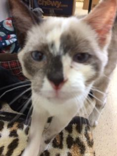 Mitsu is an adoptable Snowshoe Cat in Greenfield, IN