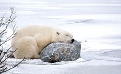 Photo of the Week: Snoozing Polar Bear National Wildlife Federation Animals And Pets, Baby Animals, Funny Animals, Cute Animals, Baby Giraffes, Wild Animals, Beautiful Creatures, Animals Beautiful, Penguins And Polar Bears