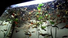 #fish #tank #howto #make #design #aquarium #FHD #1080P #NEW #2017 #Freshwater #Setup #Disease #Breeding #Plants #Books #Articles #Saltwater  #Guide #Reef #Coral #Live #Rock #Equipment #Reviews #Light #Brine #Shrimp #Hatchery #Osmosis #UV #Sterilizer #Chiller #most #pictures #videos  #movies #youtube #ever  Freshwater Fish Barbs Betta Catfish Cichlids Freshwater Inverts Gourami Livebearers Loaches Puffers Tetras Saltwater Fish Angelfish   Dwarf Angelfish - Large Butterfly Fish Cardinalfish…