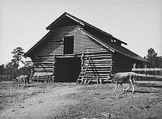 15)AAA resulted in slaughtered pigs and other cattle that eventually were buried and put into mass graves.